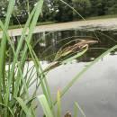 Ostřice pobřežní (<i>Carex riparia</i>), Vílanec, PR Vílanecké rašeliniště [JI], 10.7.2014, foto Libor Ekrt