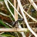 mravenec rašelinný (Formica picea)
