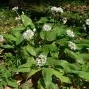 Česnek medvědí pravý (<i>Allium ursinum</i>), PR Suchá hora [TR], 12.5.2011, foto Luděk Čech