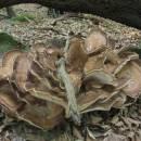 Vějířovec obrovský (<i>Meripilus giganteus</i>)