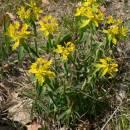 Pryšec mnohobarvý (<i>Euphorbia epithymoides</i>), PR Velká skála [TR], 23.4.2007, foto Luděk Čech