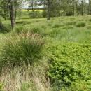 Ostřice odchylná (<i>Carex appropinquata</i>), PR Na podlesích [TR], 26.5.2013, foto Libor Ekrt