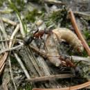 Spolupráce je jedním ze základních předpokladů úspěšnosti mravenců - (<i>Formica lugubris</i>) v NPR Ransko, foto Klára Bezděčková.