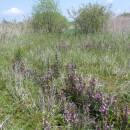 PR V Lisovech hostí malou populaci ohroženého mravenece rašelinného (<i>Formica picea</i>), foto Pavel Bezděčka.
