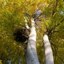 Hnízdo čápa černého (<i>Ciconia nigra</i>), PR V Klučí, 11.10.2010, foto Vojtěch Kodet