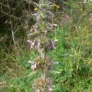 Čistec německý pravý (<i>Stachys germanica</i>), NPP Švařec [ZR], 16.9.2009, foto Luděk Čech