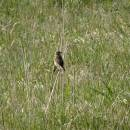 Bramborníček hnědý (<i>Saxicola rubetra</i>), PR Chvojnov, 6.5.2016, foto Vojtěch Kodet