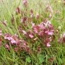 Všivec lesní (<i>Pedicularis sylvatica</i>), PR Na Oklice, 28.5.2013, foto Vojtěch Kodet