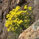 Tařice skalní pravá (<i>Aurinia saxatilis</i>), PR Velká skála [TR], 1.4.2014, foto Luděk Čech